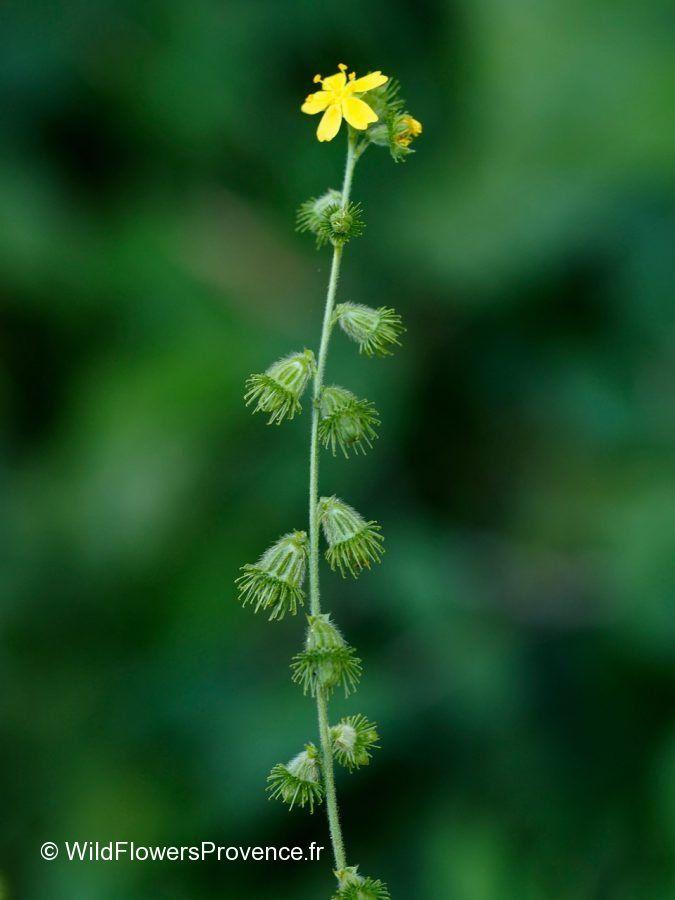 Agrimonia eupatorium