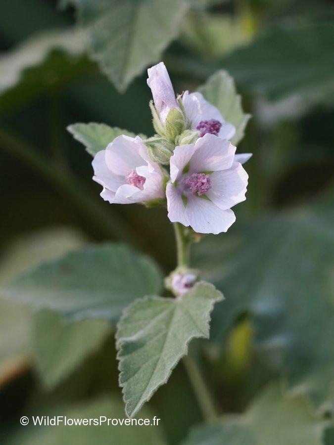 Alcea officinalis