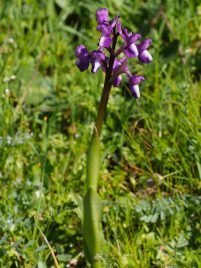 Anacamptis champagneuxii