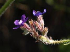 Anchusa italica