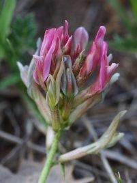 Astragalus monspessulanus