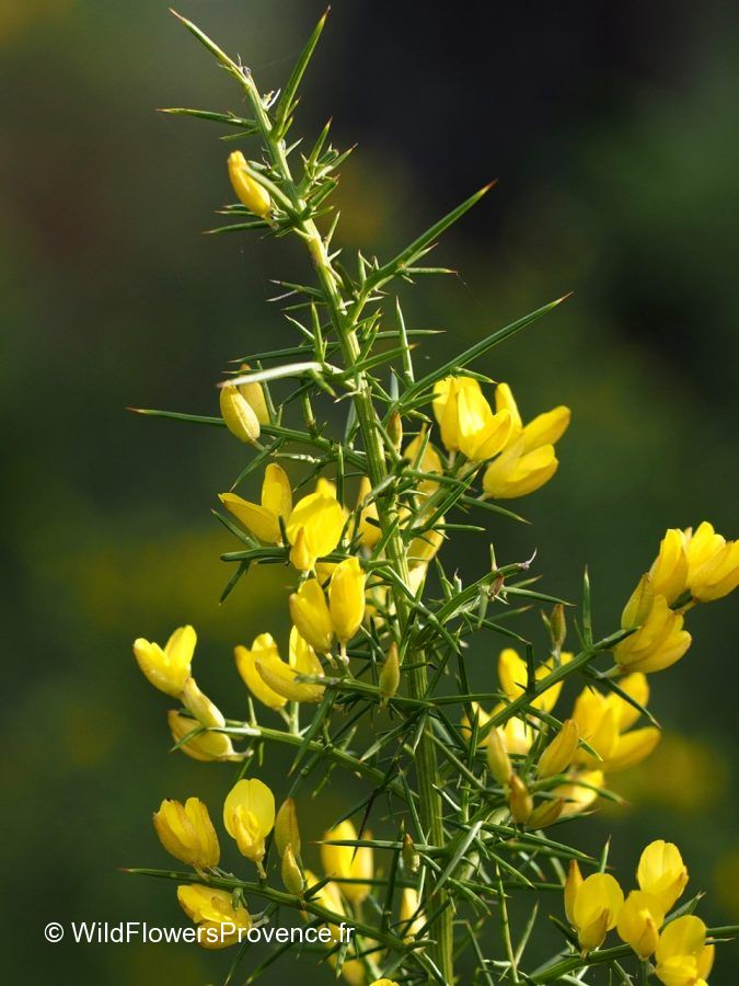 Calicotome spinosa
