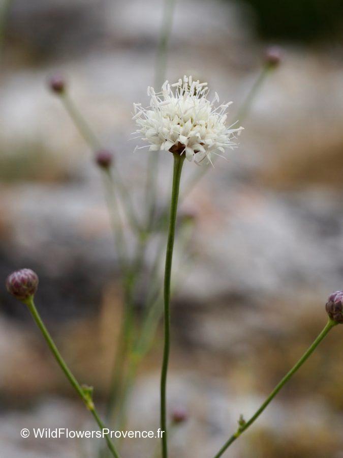 Cephalaria leucantha
