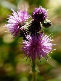 Cirsium heterophyllum