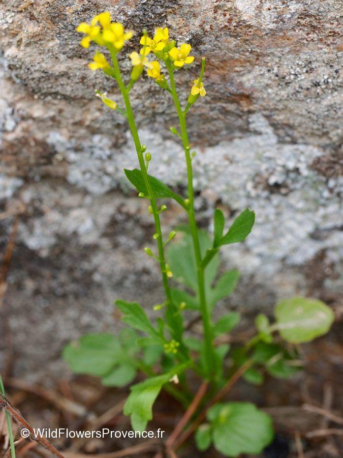 Coincya monensis