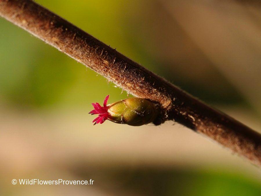Corylus avellana