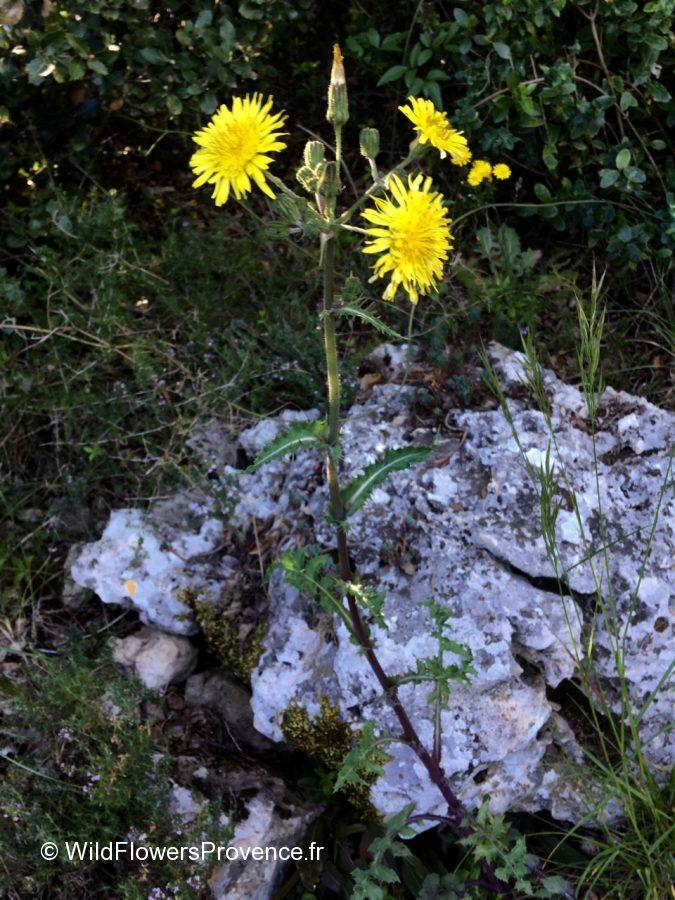 Crepis vesicaria
