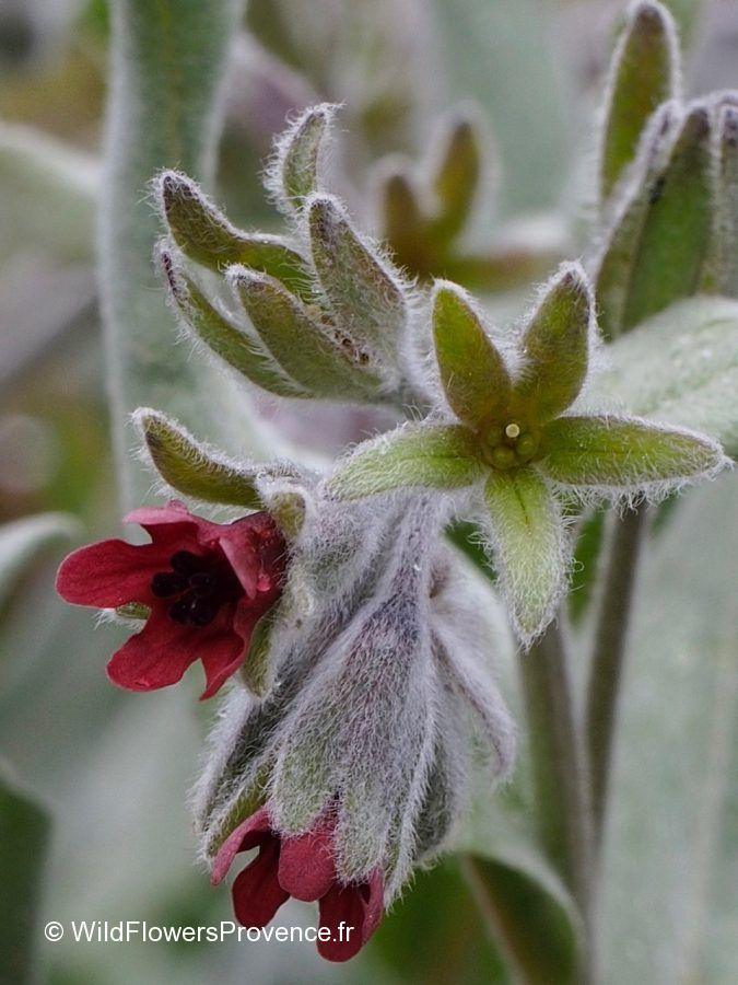 Cynoglossum cheirifolium