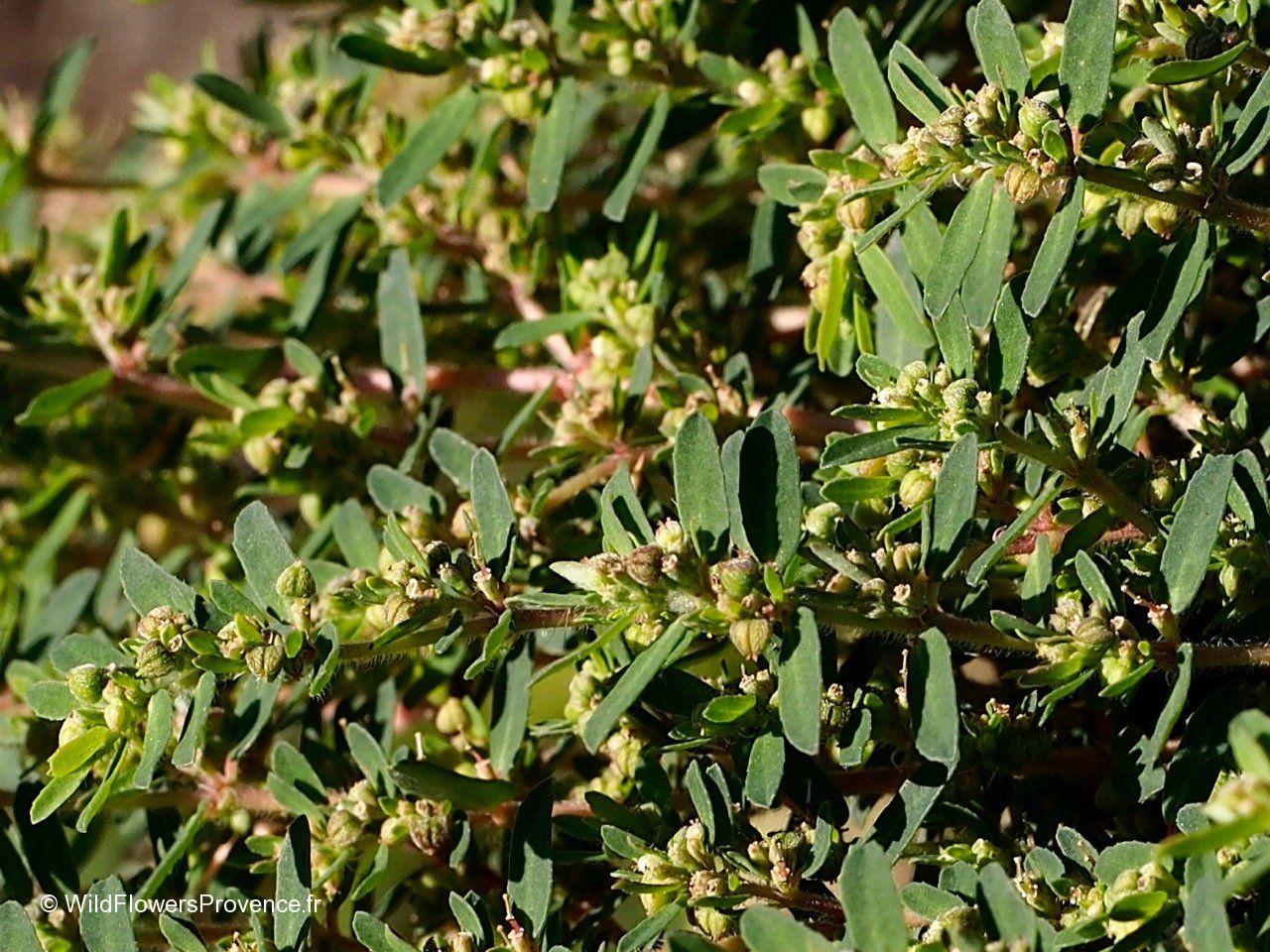 Euphorbia prostata