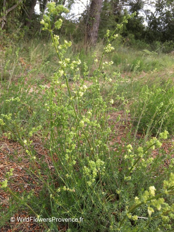 Galium corrudifolium