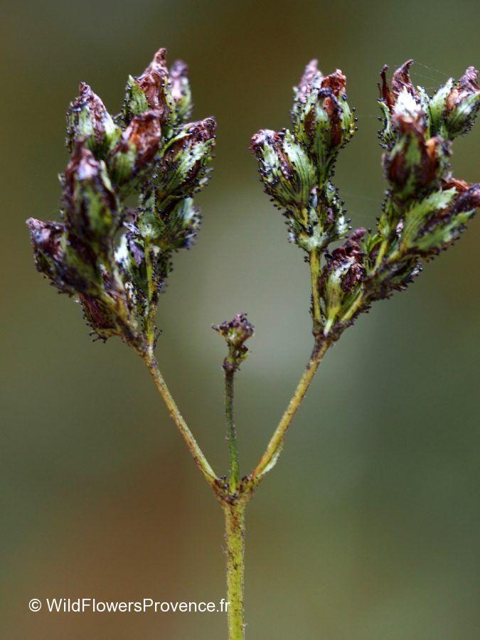 Hypericum montanum