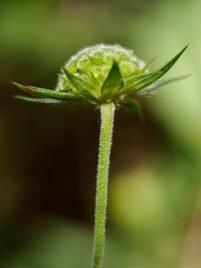 Knautia integrifolia