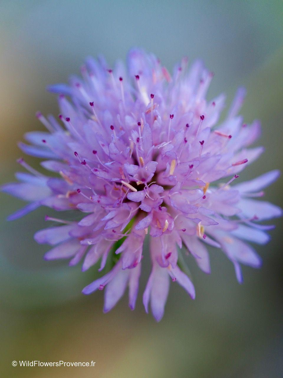 Knautia purpurea