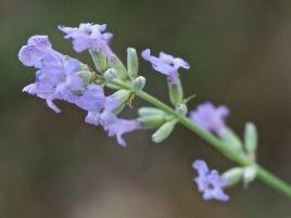Lavandula latifolia