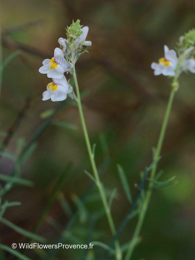 Linaria striata