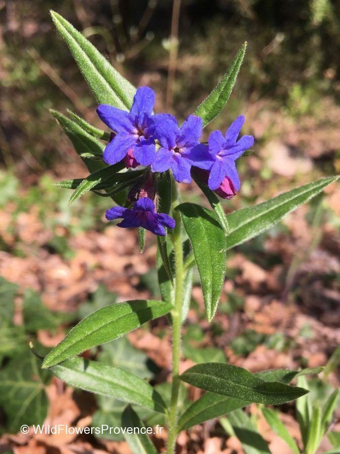 Lithospermum purpureocaerulea