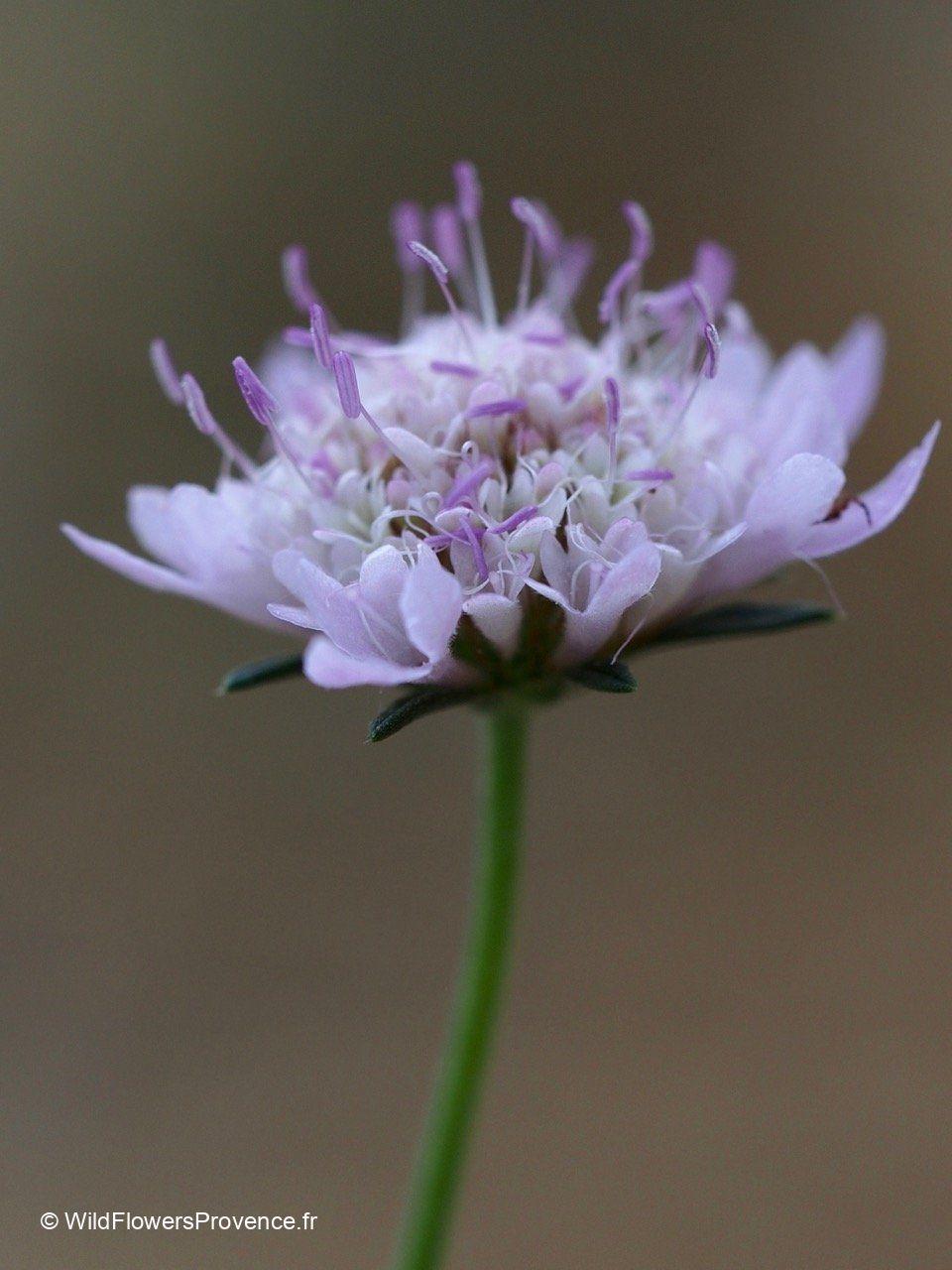 Lomelosia stellata