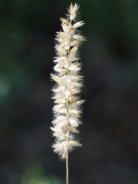 Melica ciliata