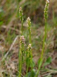 Neotinea maculata non maculata