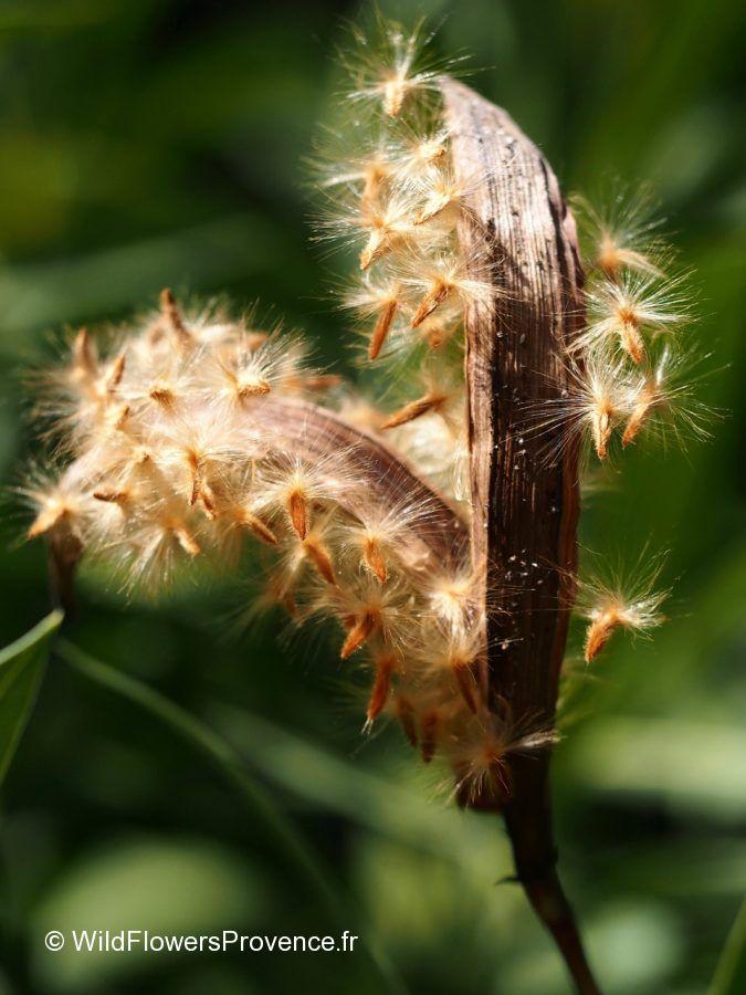 Nereum oleander