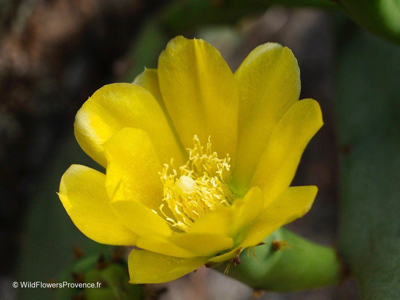 Opuntia spp