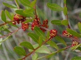 Phillyria latifolia
