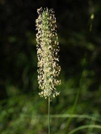 Phleum bertolonii