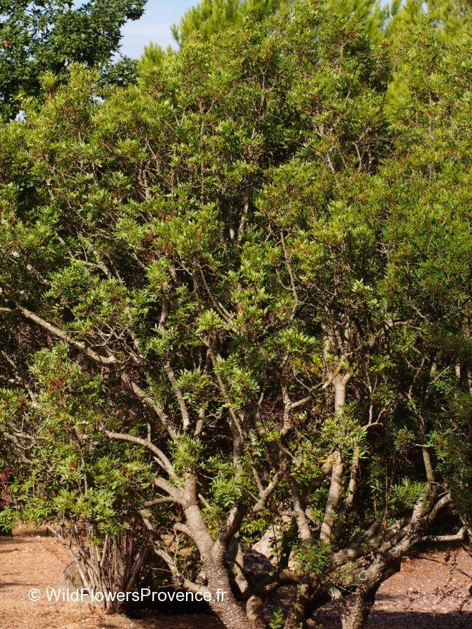 Pistacia lentiscus