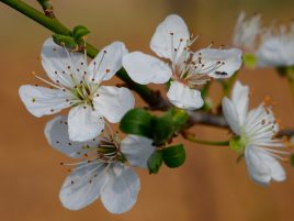 Prunus domestica