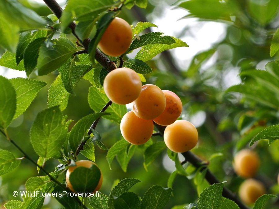 Prunus mirabelle