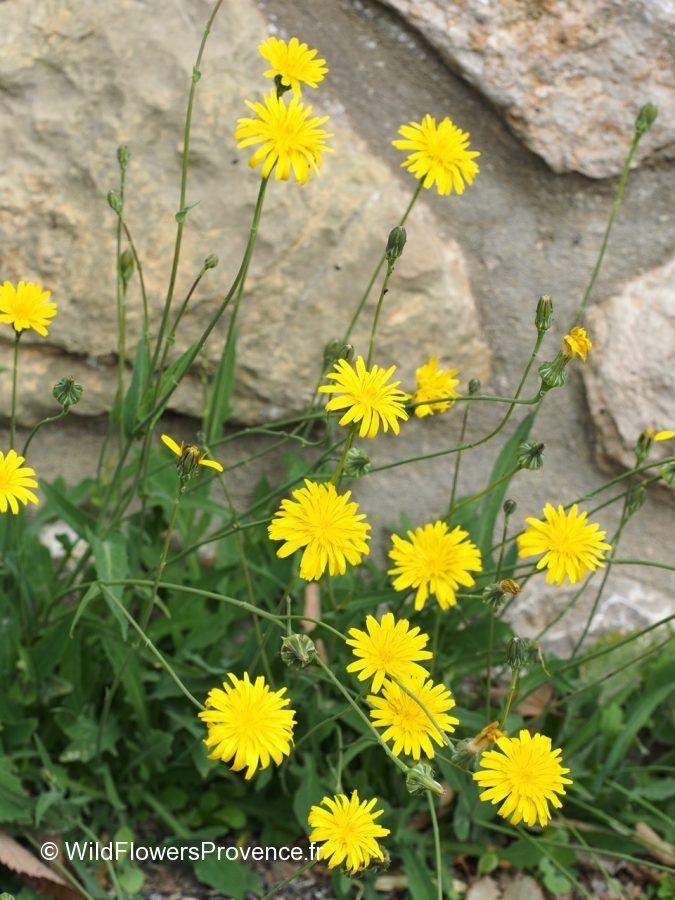 Reichardia picroides