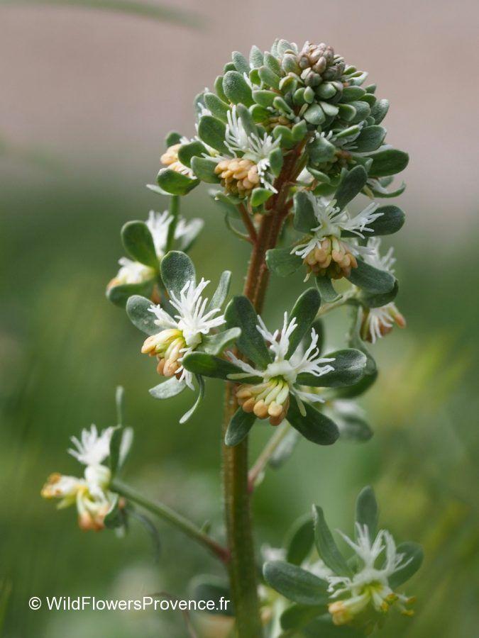 Reseda phyteuma