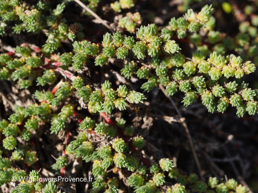 Salicornia strobilaceum