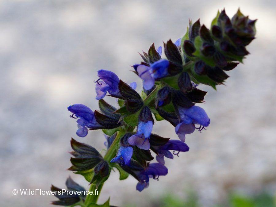 Salvia verbenaca