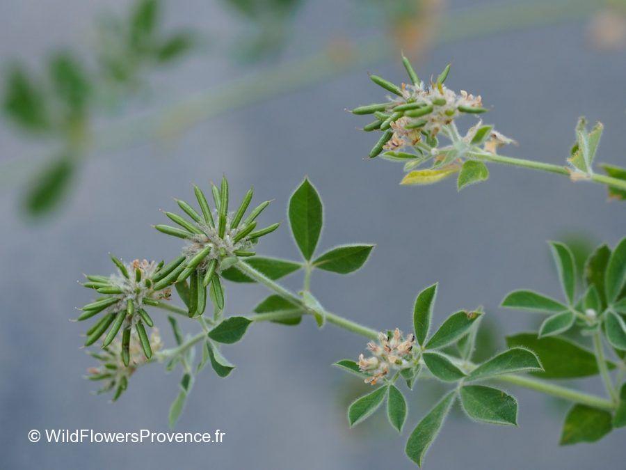 Trifolium pallidum