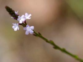 Verbena officinalis