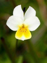 Viola roccabrunensis